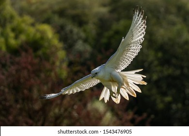 Gyrfalcon (Falco rusticolus) a white falcon bird of prey