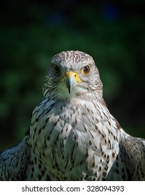 Gyrfalcons are living in arctic regions of the northern hemisphere. In the medieval era, the gyrfalcon was owned only by kings and emperors. They where used for hunting.