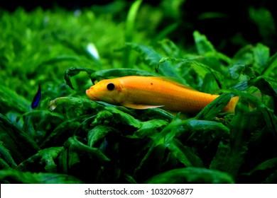 Golden Chinese Algae Eater | Gold Chinese Algae Eater Images Stock Photos Vectors Shutterstock