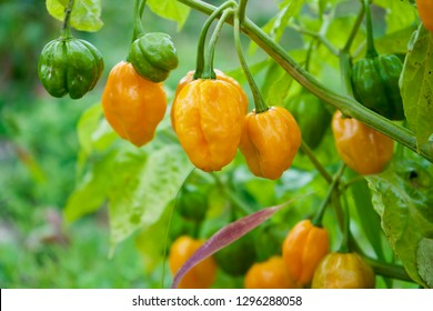 Habanero chili peppers growing on the plant
