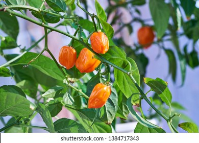 Habanero pepper, plant, hot spicy habanero peppers
