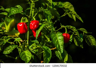 Habanero pepper, plant of habanero pepper with red fruits in the garden, hot spicy habanero peppers, hot sharp habanero pepper