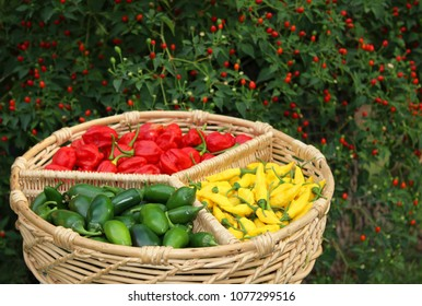 Habanero Peppers, Jalapeno Peppers and Aji Limon peppers in basket with Chiltepin Pepper Plant in Background