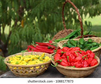 Habanero Peppers, Jalapeno Peppers and Aji Limon peppers in basket