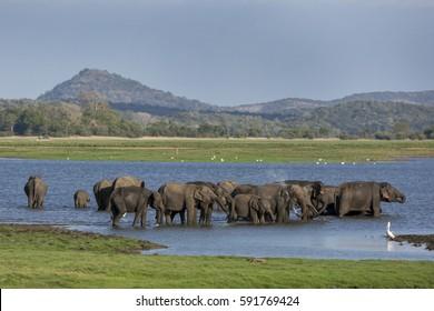 HABARANA, SRI LANKA - A herd of elephants bathing in the tank (man-made reservoir) at Minneriya National Park in the late afternoon. Minneriya National Park is located in central Sri Lanka,