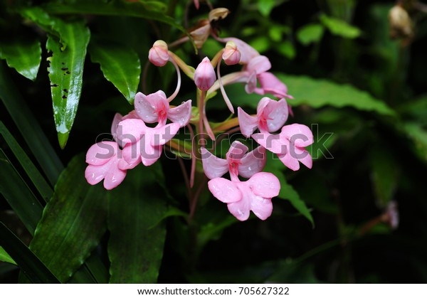 Habenaria Flower Will Bloom Once Year Stock Image Download Now