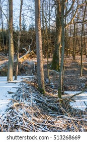 Habitat beavers. Dam on the forest stream. Poland. Europe.