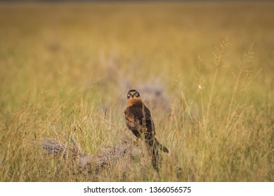 A habitat image of Montagu's harrier or Circus pygargus sitting on a beautiful perch in meadows at tal chappar blackbuck sanctuary, India