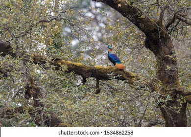 Habitat shot of a male Himalayan Monal..