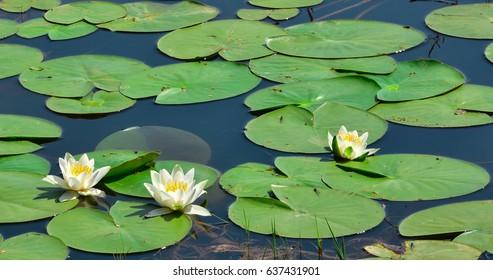 Beautiful aquatic plants lily lotus flowers stock photo edit now habitat of white lotus flowers mightylinksfo