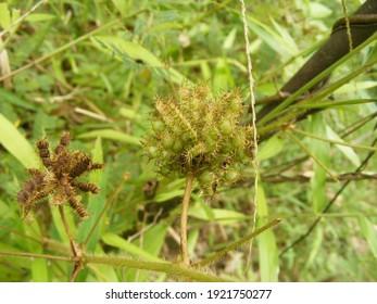 Habitus Mimosa pudica fruit that grows in the bush.