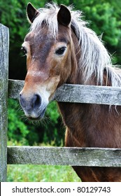 Hackney Horse by wooden fence, Webster County, West Virginia, USA