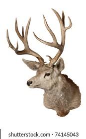Had of a odocoilus hemionus (Black-taied or Mule deer), isolated on white
