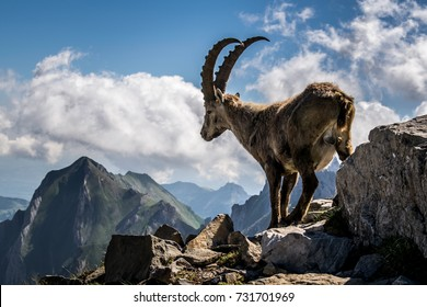 Had this Capricorn in front of me and it was so close! It really enjoys the view on the mountains