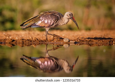 hadada ibis at a waterhole with a reflection  in a Game Reserve near Mkuze in South Africa