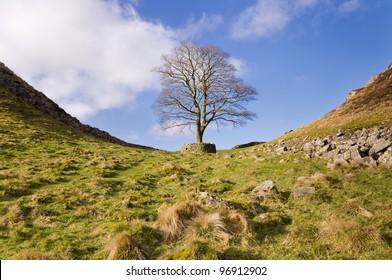 Hadrians Wall Sycamore Gap horizontal / Iconic tree at Sycamore Gap on Hadrians Wall