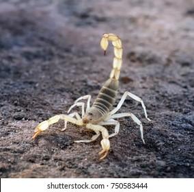 Hadrurus arizonensis, the giant desert hairy scorpion, giant hairy scorpion, or Arizona Desert hairy scorpion in a threatening pose