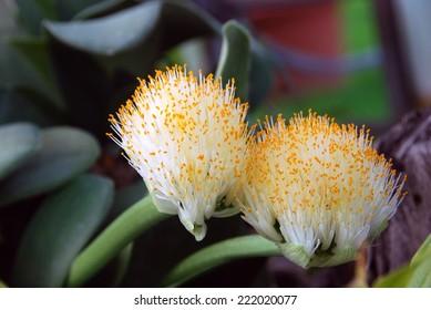 Haemanthus albiflos (paintbrush)