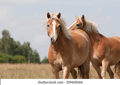 Hafling Horses. Horse outdoor shot. Horse on meadow, domestic horse farm shot. Beautiful horse outside the stable. Riding western horse.