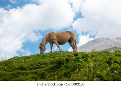 Haflinger Avelignese Horse, Alpe di Siusi, Seiser alm