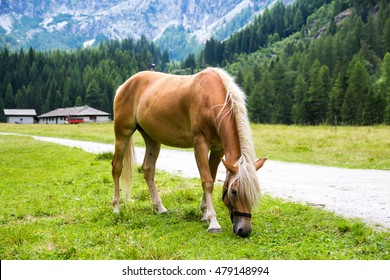 The Haflinger, a breed of horse developed in the South Tyrol region