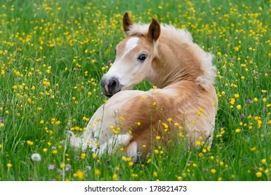 Haflinger horse, foal resting in a flowering meadow