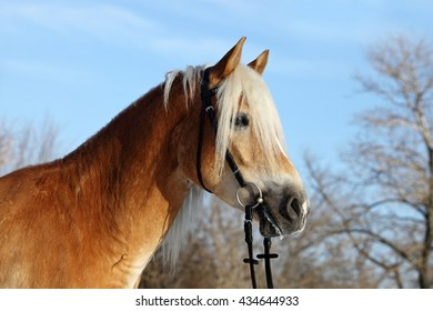 Haflinger horse portrait against winter blue sky