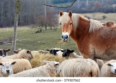 Haflinger horse and sheep