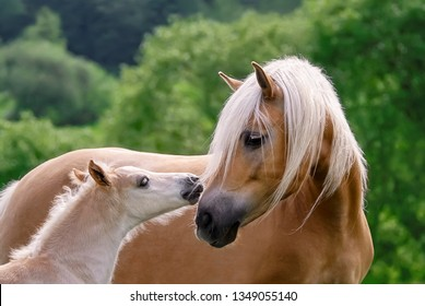 Haflinger horses, mare with foal side by side, cuddling, the cute baby avelignese pony confidently turns to its mommy