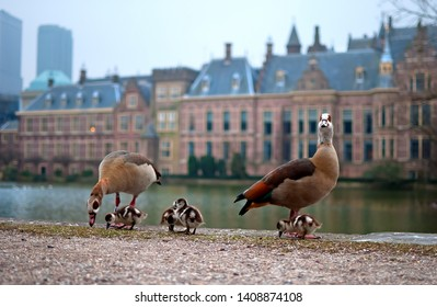 The Hague (Den Haag) in the Netherlands: Ducks and ducklings in front of the Parliament (Binnenhof)