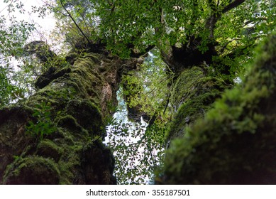 hahakosugi Yaku ceder tree Yakushima