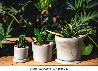 Hahnii Jade Dwarf Marginata and cactus in cement pots