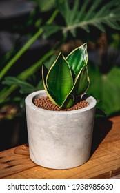 Hahnii Jade Dwarf Marginata in cement pots