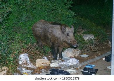 Haifa, Israel - April 05, 2021: View of a wild boar seeking for food in garbage, in the urban streets of Haifa, Israel