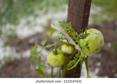 Hail damaged garden - Weather Storm Disaster