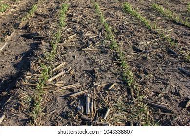 Hail damaged soybeans.