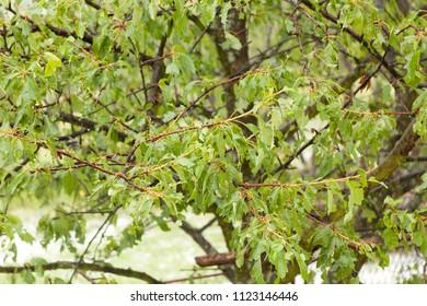 Hail storm make damaged on fruit tree - summer weather disaster