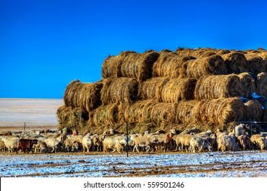 Hailar grassland tribe