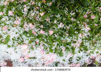 Hailstone on the grass with the rose petals fallen to the ground