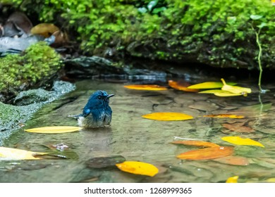 A Hainan Blue Flycatcher bathing in a natural small pond