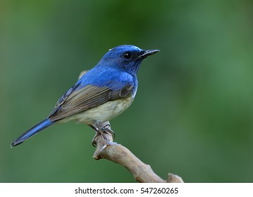 Hainan blue flycatcher (Cyornis hainanus) beautiful bird perching on twig  in fine green blur background soft lighting showing details its feathers, exotic nature
