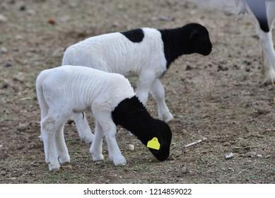 Hair Sheep: 10-day old lambs