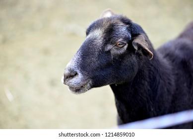 Hair Sheep: Closeup of face