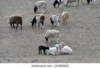 Hair Sheep: Ewes and lambs in pasture