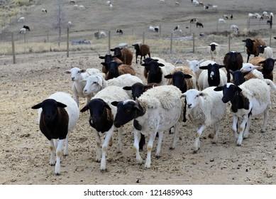 Hair Sheep: Group of yearlings.