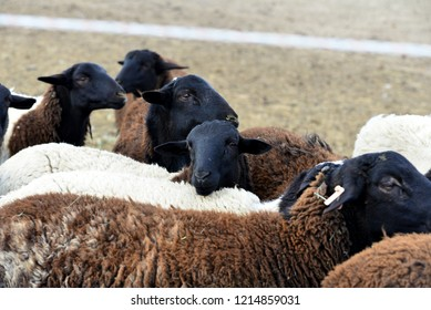Hair Sheep: group of young sheep showing winter wool over hair.
