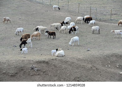 Hair Sheep: Part of flock in pasture