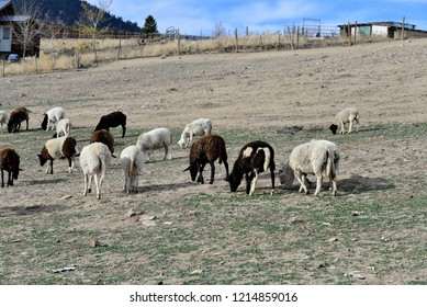 Hair Sheep: part of a large flock