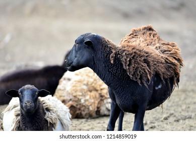 Hair Sheep: Pregnant ewe showing winter wool over normal hair.
