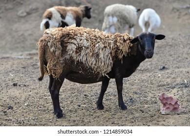 Hair Sheep: Pregnant ewe showing winter wool over hair.